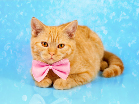 Portrait of cute red cat wearing bow tie on shine blue background Stock Photo