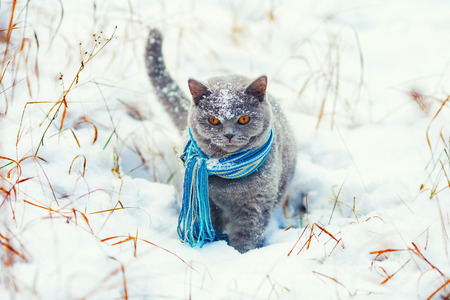 british weather: Cat wearing scarf walking on the snow