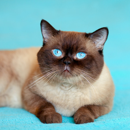 blue siamese cat: Portrait of cure siamese cat on blue background