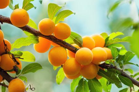 alycha: Branch of organic yellow plum