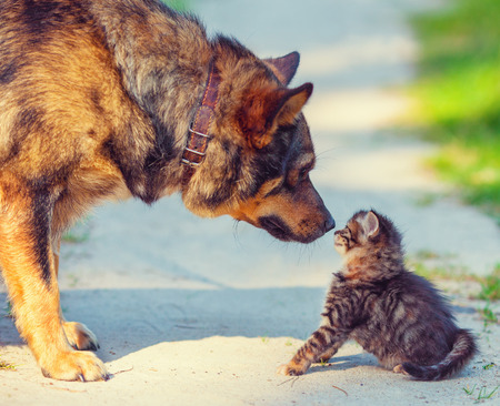 Big dog and little stray kitten meeting outdoors Stock Photo