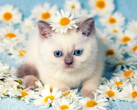 カモミールの花の上に座ってかわいい色ポイント子猫