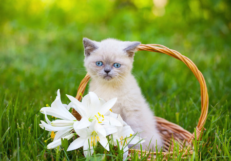 Cute little siamese kitten in a basket with lily flowers outdoor photo