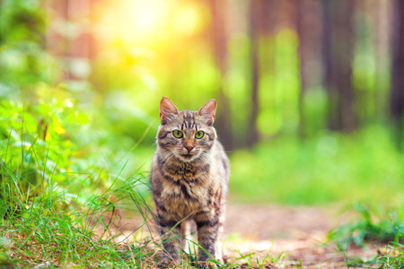 siberian pine: Cute siberian cat walking in the forest