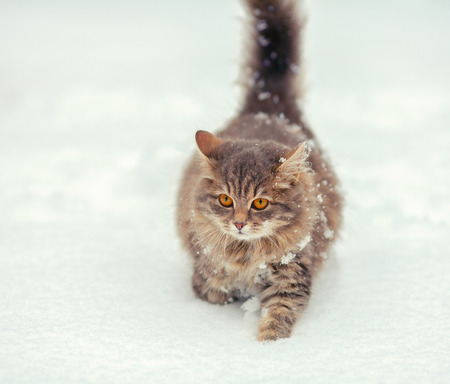 cold weather: Cute siberian cat walking on the snow Stock Photo