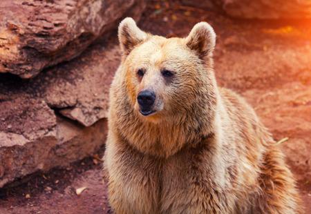 lejos: Far Eastern paseo oso salvaje cerca de la roca Foto de archivo