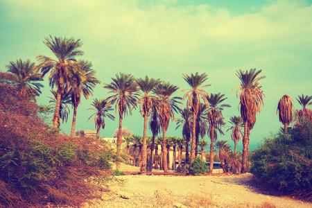 ein: Vintage landscape with date palm trees in Ein Gedi Reserve in Israel