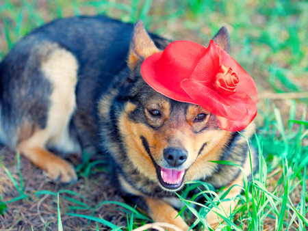 tendencies: Dog wearing female fashion red hat with veil relaxing outdoors