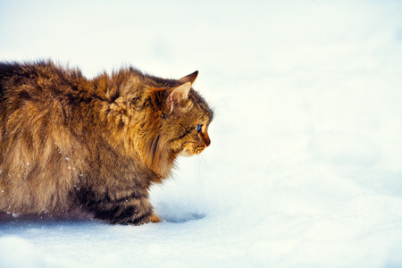 Cute cat walking on the snow photo