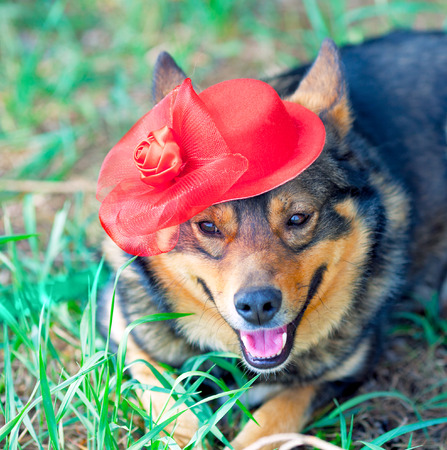 tendencies: Dog dressed female red hat lying on the grass