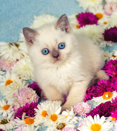 cute kitten: Cute siamese little in flowers Stock Photo