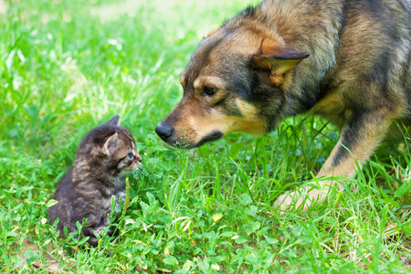 Big dog sniffing little kitten outdoors