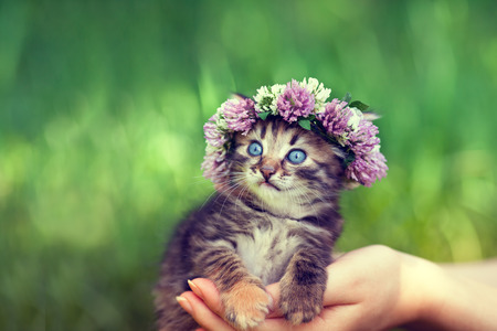 cute bi: Cute kitten crowned with chaplet in female hands Stock Photo