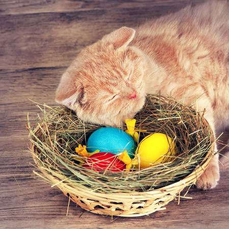 british short hair: British short hair cat sleeping near basket with colored eggs