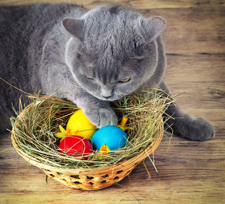 British short hair cat sleeping near basket with colored eggs photo