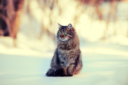 Cute siberian cat relaxing outdoors on the snow photo