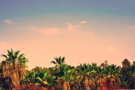 dactylifera: Date palm plantation