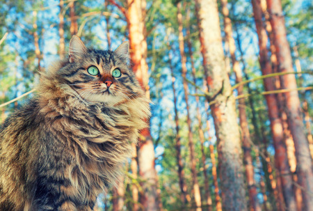 siberian pine: Siberian cat walking in the pine forest