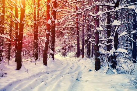winter sunrise: Sunrise in pine winter forest