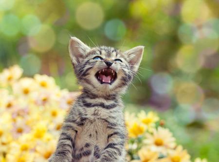 meowing: Cute little meowing kitten in the garden