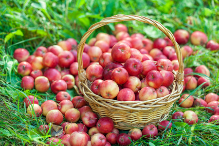 red sun: Basket with red apples on the grass Stock Photo