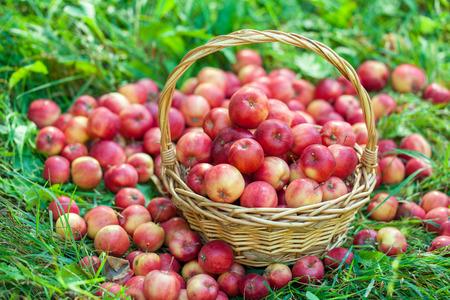 manzana roja: Cesta con las manzanas rojas en la hierba Foto de archivo