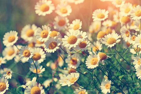 Vintage fleurs de camomille wilde Banque d'images