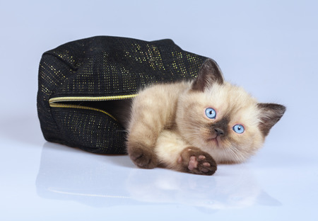 beautician: Cute little siamese kitten sitting in the beautician Stock Photo