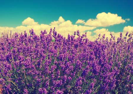 Vintage lavender field
