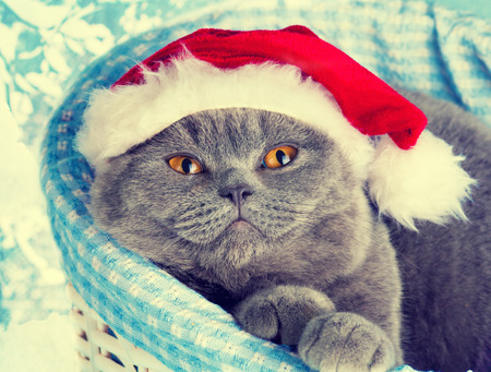 christmas pussy: Cat wearing Santa hat dreaming in a basket