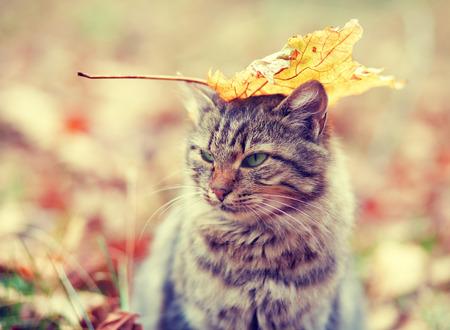 koty: Kot syberyjski kot z liściem na głowie siedzi w lesie jesienią