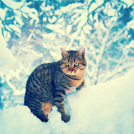 christmas pussy: Cat in the deep snow in the forest