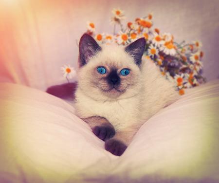 baby  pussy: Vintage portrait of siamese kitten lying near chamomile