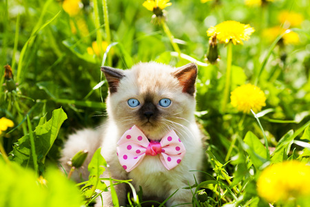 cute bi: Cute kitten wearing bow tie walking in the dandelion lawn