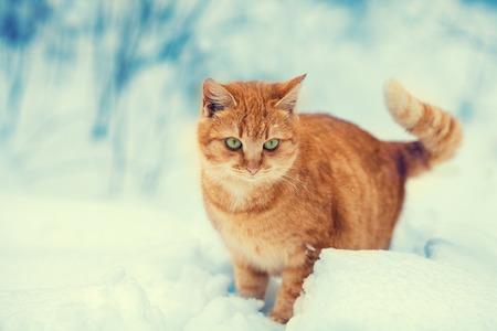 Cute red kitten walking in deep snow