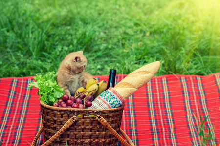 sniffing: Little kitten sniffing the picnic basket outdoors