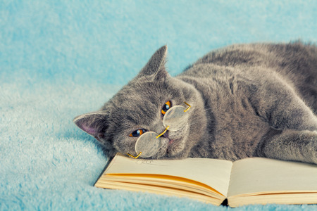 cute pussy: A blue british cat is wearing glasses lying on the book Stock Photo