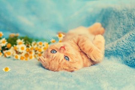 blue blanket: Cute kitten on blue blanket Stock Photo