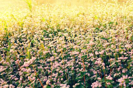 Buckweat field at sunrise photo