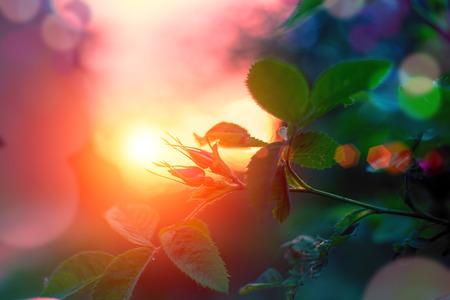 Evening summer landscape, rosebuds at sunset. Selective focus Standard-Bild