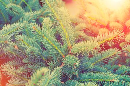 pine boughs: Blue fir tree brunch at sunset for background