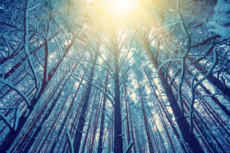 winter tree silhouette: Vintage frame from tall trees covered with snow at sunset
