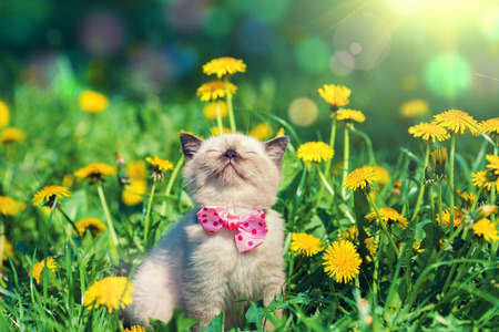 pets: little kitten wearing bow tie in the dandelion flowers