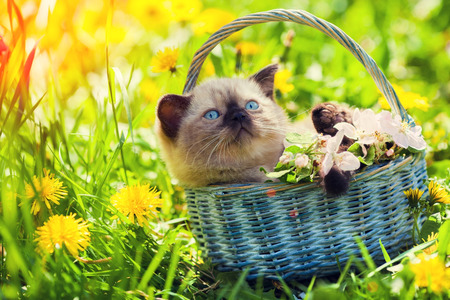 Little kitten in a basket on the grass with dandelions photo