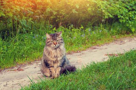 siberian: Siberian cat
