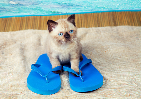wearing sandals: Summer scene. Little kitten wearing flip flops sandals Stock Photo