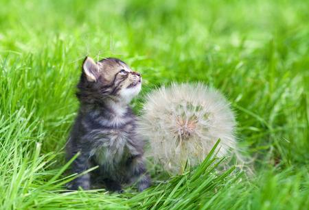 kitten: Little kitten with big dandelion with seeds