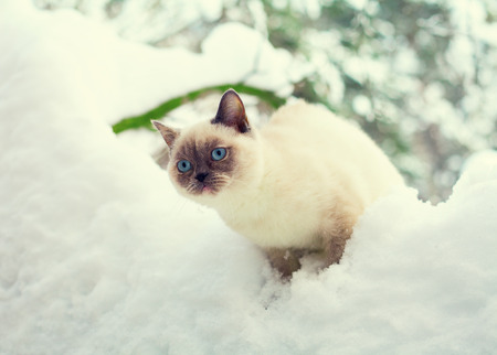 christmas pussy: Cat in snow