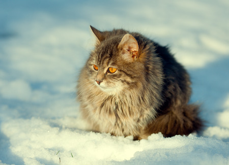 christmas pussy: Siberian cat sitting in the snow Stock Photo