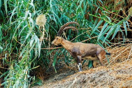 gedi: Nubian ibex in Ein Gedi Reserve, Israel